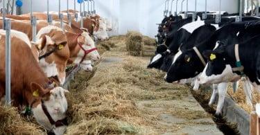 UE aprova Lactobacillus como aditivo em alimentos de ovinos e bovinos