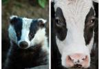 Propagação da tuberculose bovina mais frequente dentro da mesma espécie