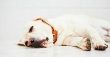cão deitado - Veterinária Atual