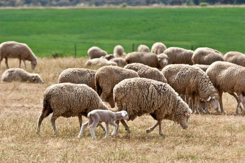 ovelhas - Veterinária Atual