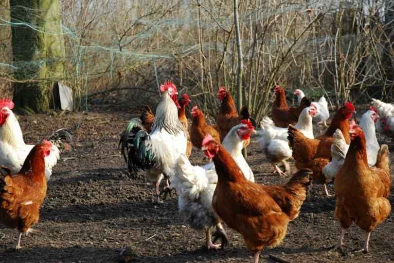 Edição genética pode ajudar a criar aves resistentes à gripe aviária
