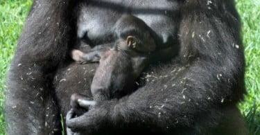 Cria de gorila do Zoo de Lisboa procura padrinho