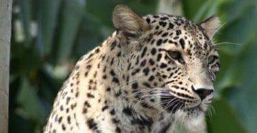 Leopardos-da-pérsia portugueses em programa de reintrodução no Cáucaso