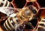 Vespa assassina de abelhas ameaça Europa