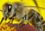 Portugueses desenvolvem produto para combater doença das abelhas
