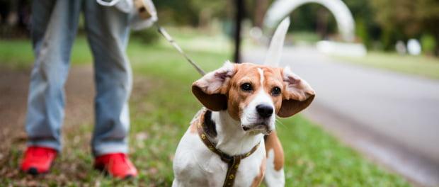 Trela pode tornar cães mais agressivos