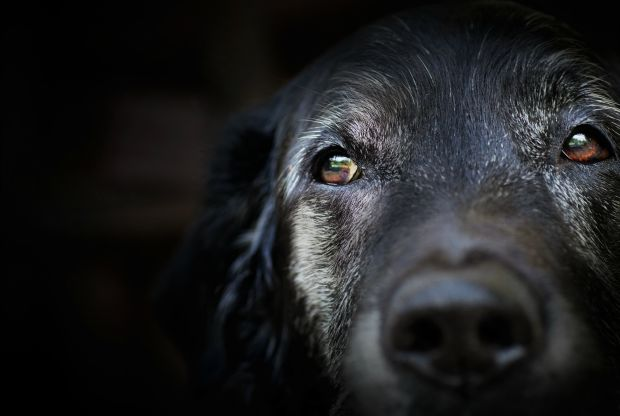 Descoberta origem de problemas de comportamento em animais idosos