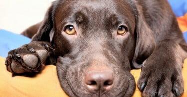 A ciência do amor entre cães e donos está no olhar