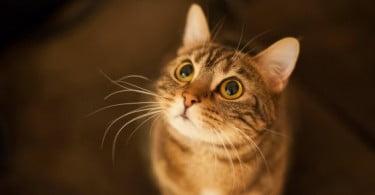 Estudo analisa relação da função renal e da diabetes em gatos