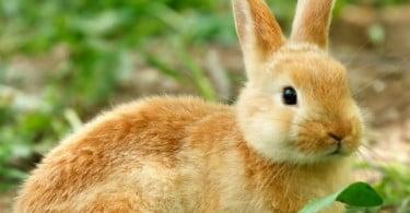 MSD Animal Health lança vacina para coelhos