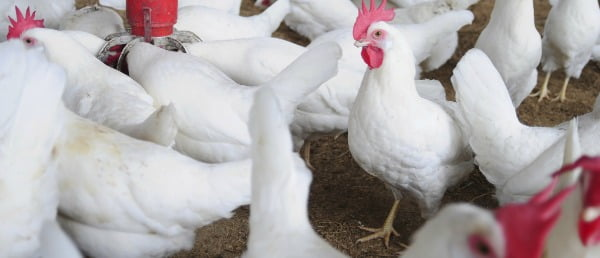 México declara estado de emergência devido a gripe aviária