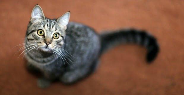 Stress em gatos domésticos explicado