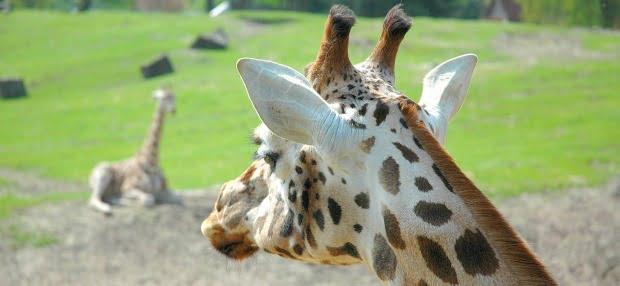 Abate de girafa causa polémica em Copenhaga