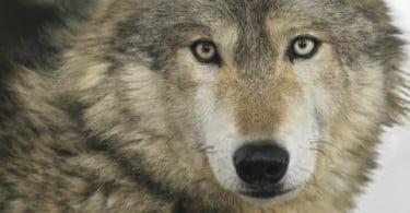 Ataques de lobos levam Câmara de São Pedro do Sul a pedir ajuda