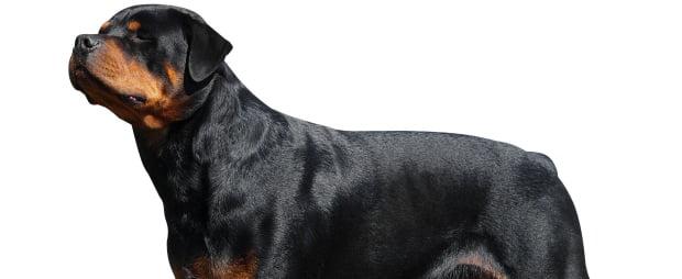 UE proíbe corte de orelhas e cauda dos cães