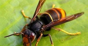 Governo disponibiliza 1 M€ para campanha de combate à vespa velutina