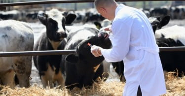 Veterinários de bovinos aconselhados a mudar técnica de vacinação