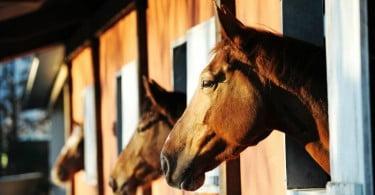 cavalos nos estábulos Veterinária Atual