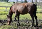 cavalo - novembro 2015 - Veterinária Atual