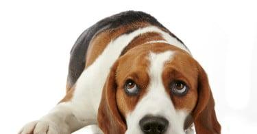 cão beagle Veterinária Atual