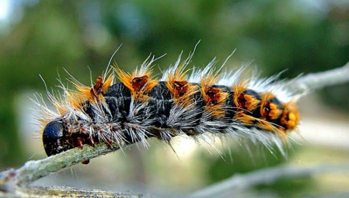 lagarta do pinheiro