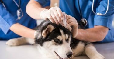 médico veterinário a tratar cão fevereiro Veterinária Atual