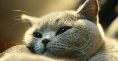 Podem as 'tecnologias inteligentes' ser a solução para a perda de peso em gatos?
