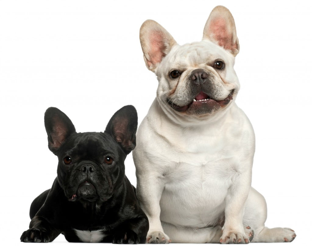 French Bulldog (2 years old), French Bulldog (2 years old)