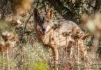 lobo ibérico - Veterinária Atual