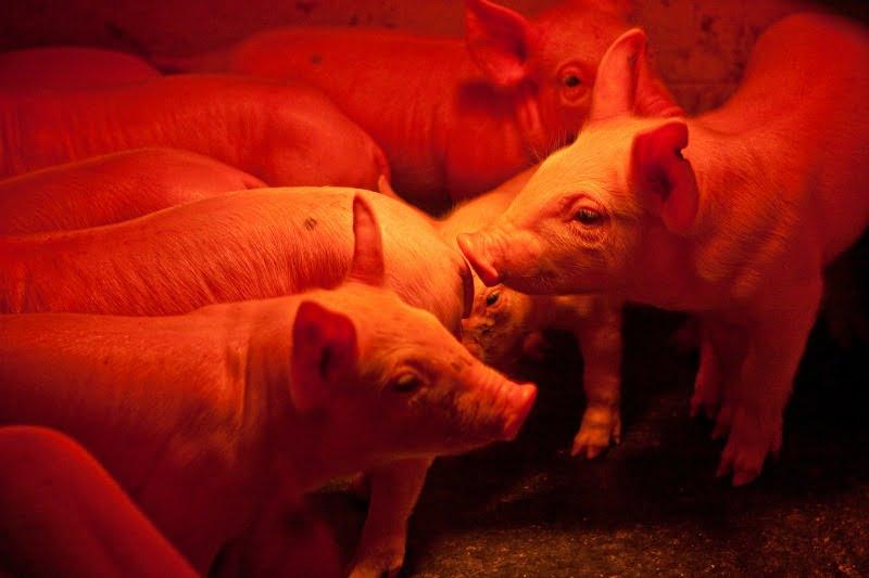 Peste suína africana: Timor-Leste confirma morte de 400 porcos