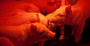 porcos - Veterinária Atual