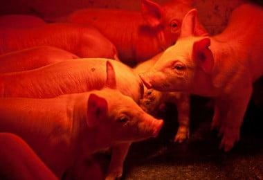 Novo vírus que infeta suínos pode afetar também humanos