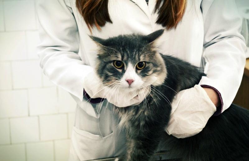 endocardite infeciosa de felinos