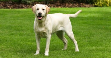 cão - labrador - Veterinária Atual