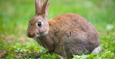 doenças que afetam os coelhos bravos