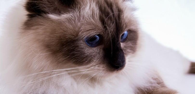 gato birmanês - Veterinária Atual