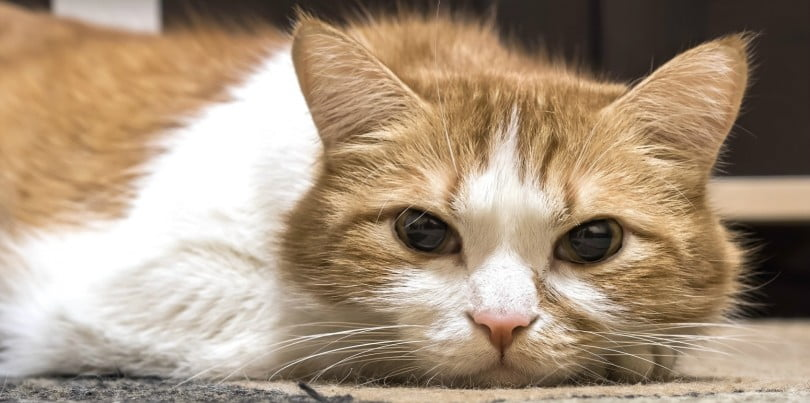 gato doente - medicina veterinária