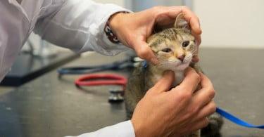 médico veterinário Veterinária Atual