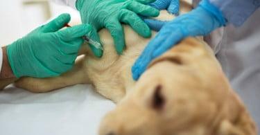 cão-a-ser-vacinado-Veterinária-Atual