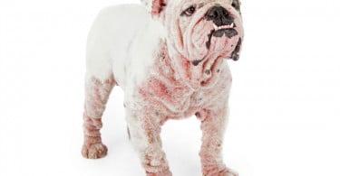 Desvendada relação positiva entre níveis de IL-31 e gravidade da dermatite atópica canina