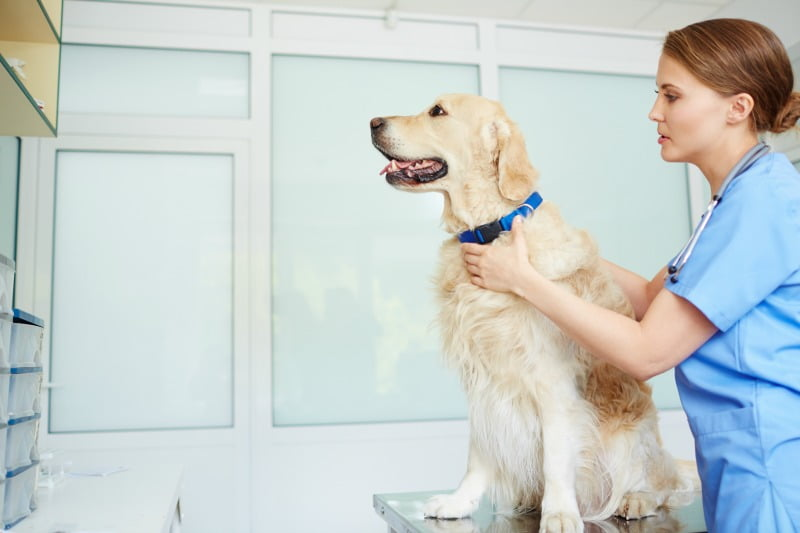 Veterinários preferem trabalhar em clínicas de pequenos animais