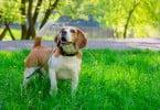 cão - Veterinária Atual