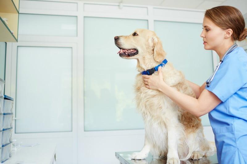 veterinário a tratar cão