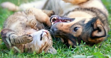 Gata de quatro semanas salva graças transfusão de sangue de cão