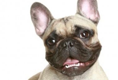 cães de raças braquicéfalas