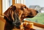 cães têm a capacidade de enganar para conseguir o que querem