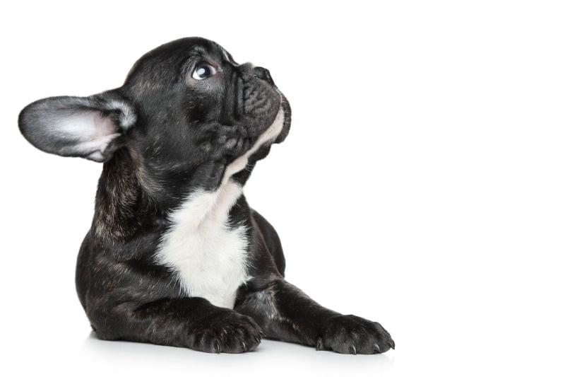 Serão os cães braquicéfalos mais suscetíveis à hipercoagulabilidade?