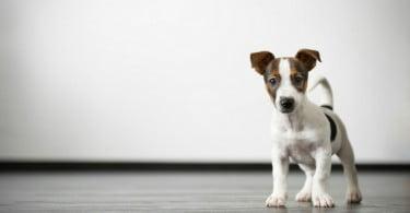 13,4% dos cães de raça morrem nos primeiros dois meses de vida