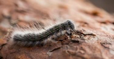 Onda de calor na Europa provoca infestação de lagarta do pinheiro