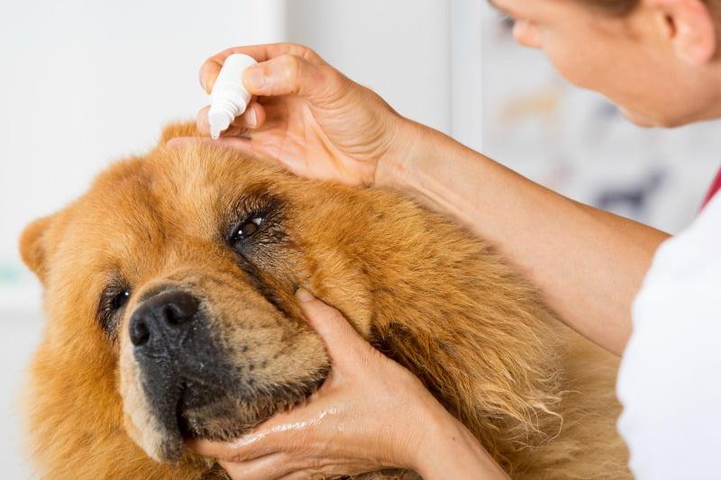 oftalmologia veterinária - veterinária atual
